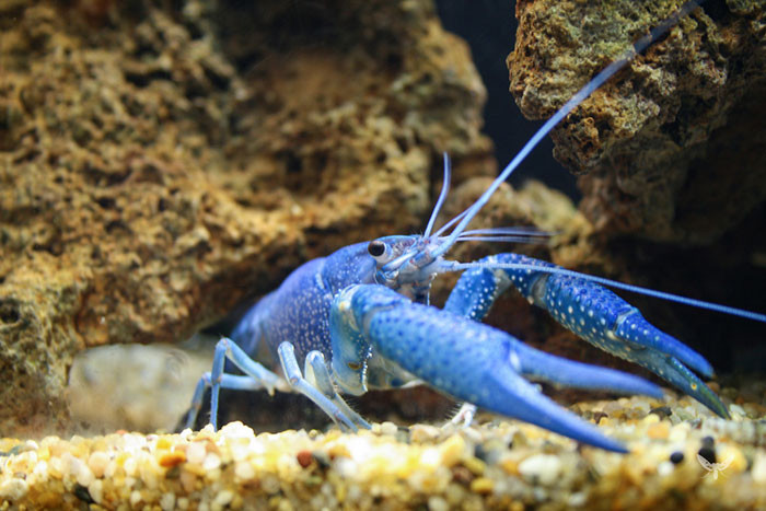 Blue Lobster blindness, animal world, creatures of our planet, facts