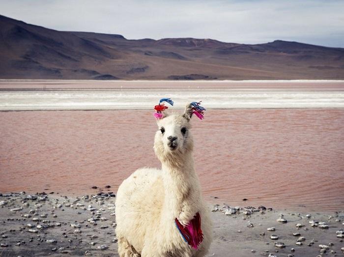 На высоте 4 000 м в ледяных ветрах находится дом этой ламы. Снимок сделан на соленом озере Лагуна Колорадо в Боливии.
