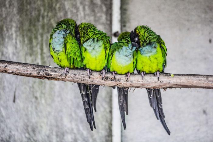 Попугаи спят вместе сидя на жердочке.