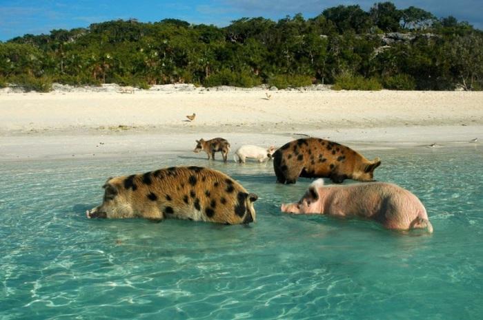 Дикие свиньи с удовольствием нежатся как в солёных водах океана, так и в пресных водоёмах.