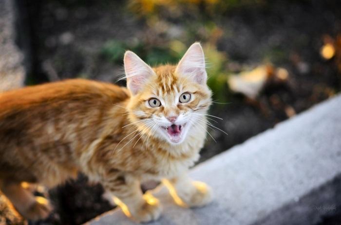 Кот, требующий к себе внимания. Фотограф: (Renita Kostadinova).