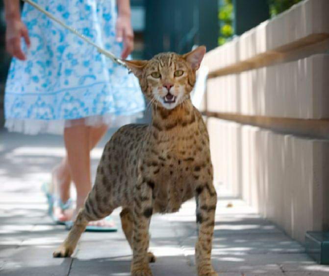 8. Кошка Ашера волк, животные, коты, породы, собаки