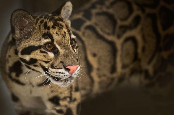 Один из редчайших представителей семейства кошачьих.