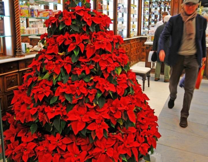Как ухаживать за рождественским цветком в домашних условиях в горшке