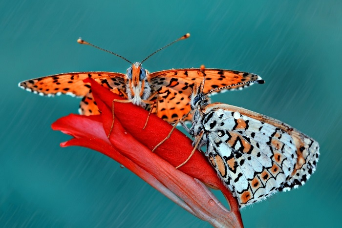 Ажурные бабочки. Фотограф: Мустафа Озтюрк.