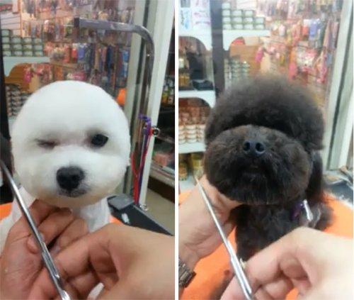 Тайваньцы массово делают своим собакам круглые и квадратные стрижки (8 фото)