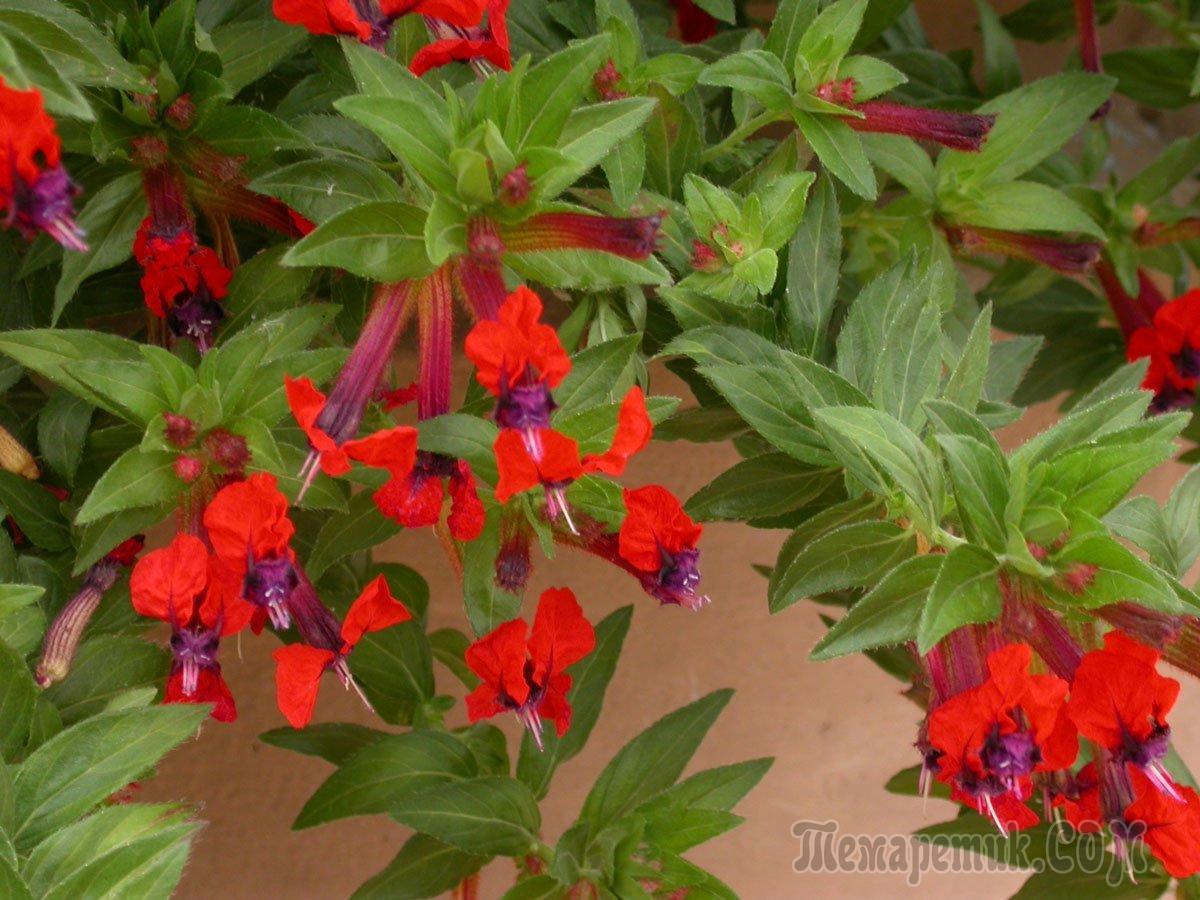 Комнатные цветы название и фото с красными цветочками