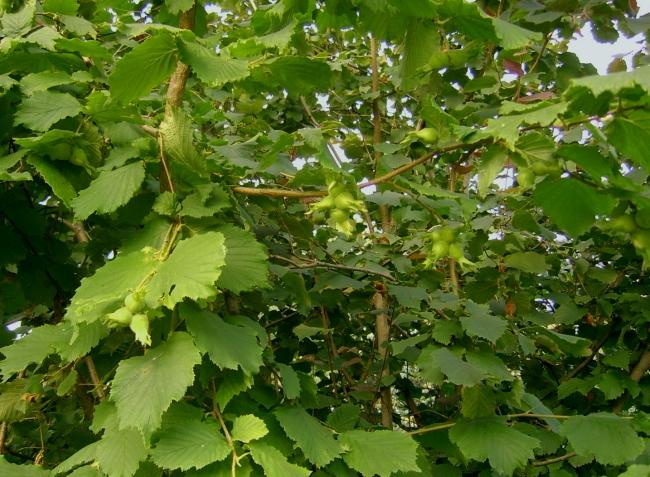 Лещина особенности выращивания 94