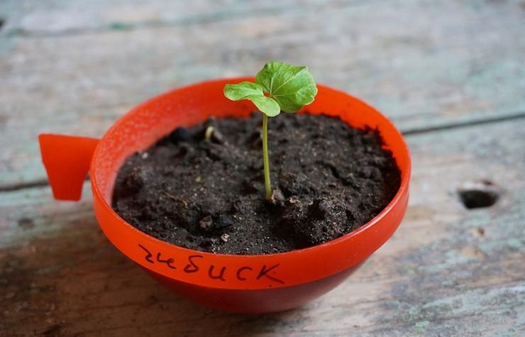 Гибискусы выращивание из семян 10