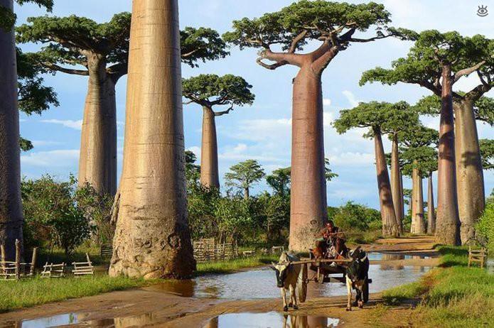 Баобабы на Мадагаскаре. Эти гигантские баобабы Мадагаскара обладают необыкновенной способностью накапливать влагу в своих толстых стволах и за ее счет успешно противостоять длительным засухам красота мира, природа