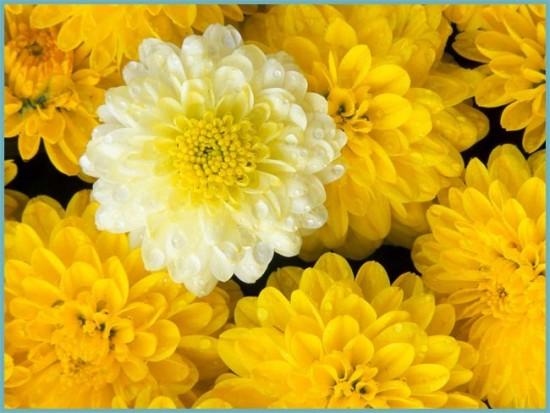 полив хризантемы