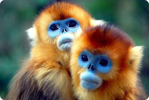 Необыкновенные золотистые обезьянки