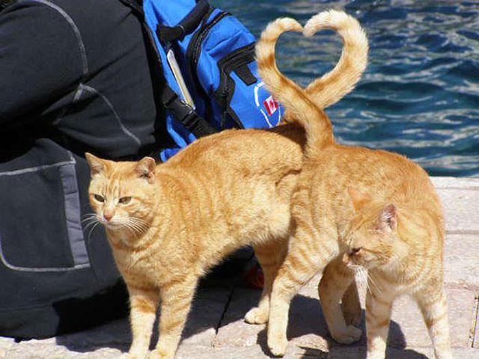Кошачьи хвосты, образующие сердце.