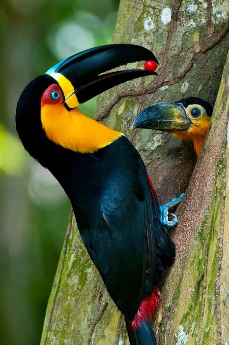 Amazoncom  22 Large Artificial Feathered Tropical Toucan
