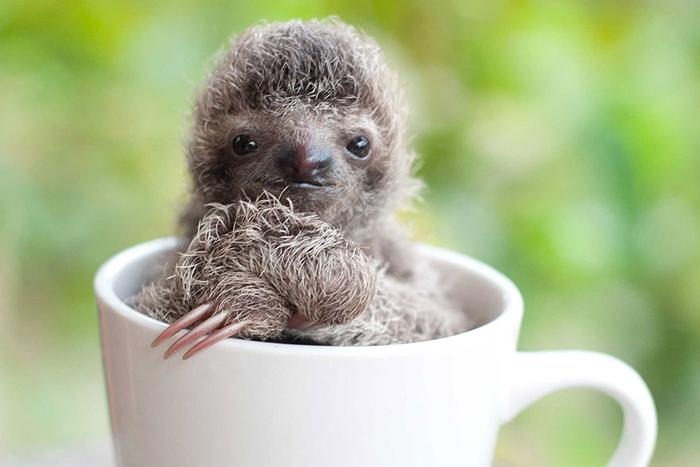 Маленькие детеныши ленивцев совершенно беспомощны.