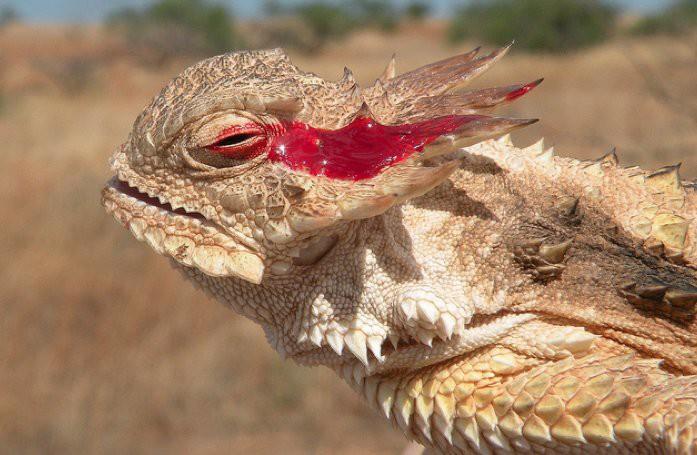 Рогатая ящерица. Стрельба глазами животные, рекорды, удивительно, факты
