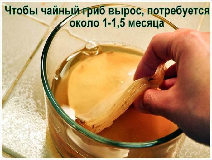 Как сделать чайный гриб в домашних условиях фото 793
