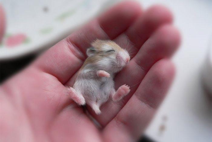 Популярное маленькое домашнее животное, имеющее рост до 5 см, вес до 45 граммов.
