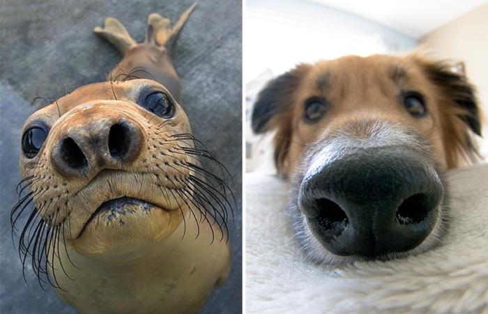 Собаки имеют много сходных характеристик с тюленями потому, что эти два вида животных относятся к подотряду псообразных.