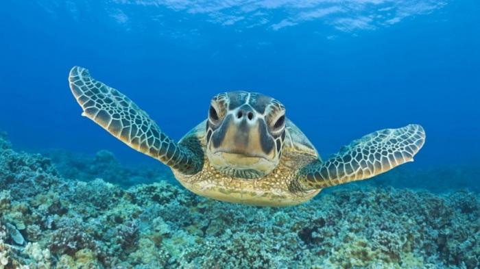 Морская черепаха в Тихом океане.