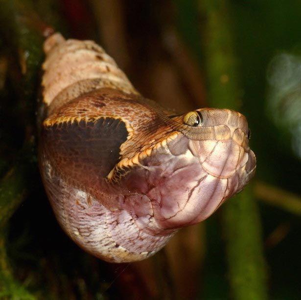бабочка dynastor darius, кокон бабочки-совы, самый страшный кокон, кокон похож на змею