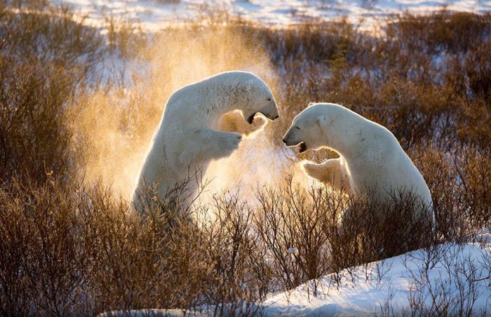 Игры белых медведей, Канада. Фотограф Joyce Ferder.