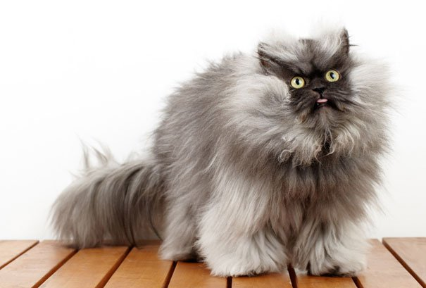 most-popular-cats-colonel-meow-2