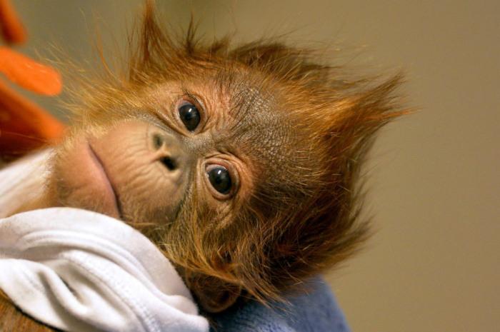 У маленького орангутанга умерла мать спустя неделю, после рождения малыша. Фотограф Attila Kovacs.
