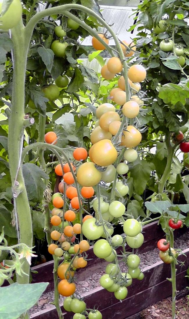 Выращивание томатов черри в теплицах 103