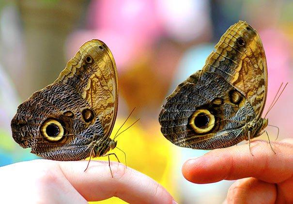 животные близнецы бабочки