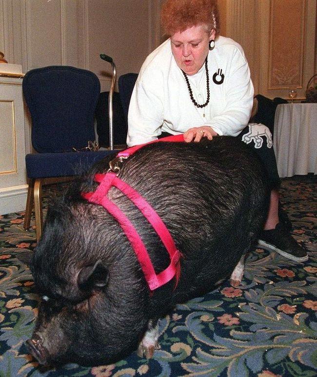 Домашняя свинья Лулу добро, животные, спасение
