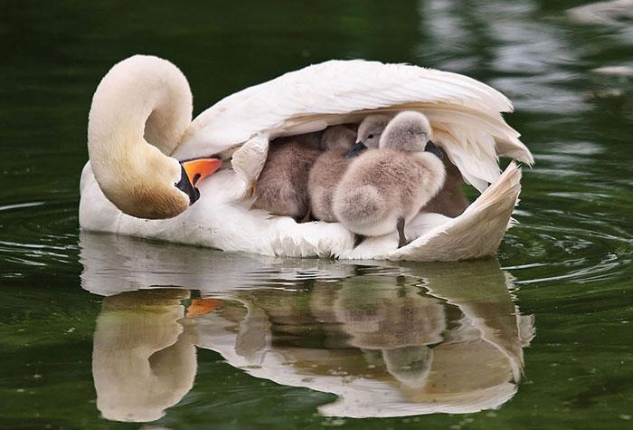 Самец лебедь, заботится и оберегает своих детёнышей.
