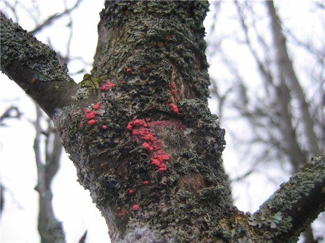 цитоспороз плодового дерева фото