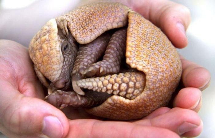 Единственное современное животное, чьё тело сверху покрыто панцирем, образованным кожным окостенением.