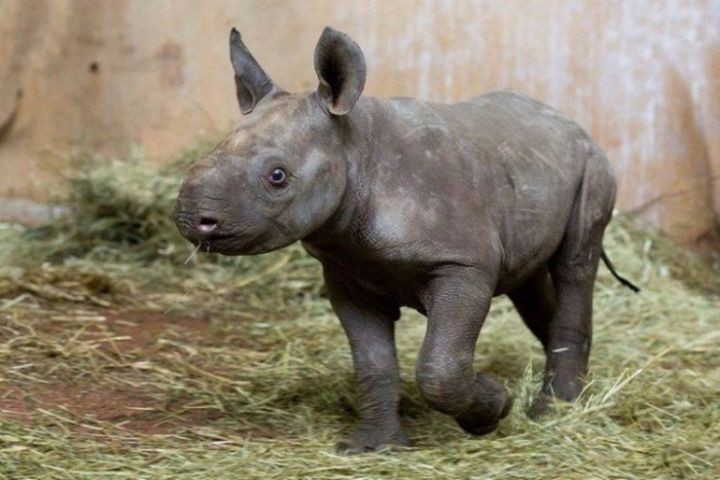 6. In the zoo in Zurich for the first time in 18 years in captivity was born a rare black rhinoceros in the world, people, photos