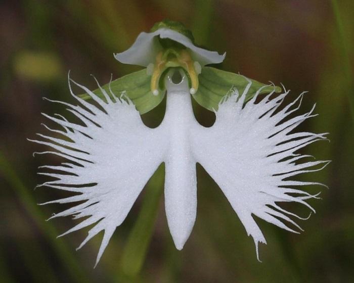 Наземная листопадная орхидея высотой от 15 до 30 см, широко распространённая на островах Японии, которая относится к охраняемым видам растений.