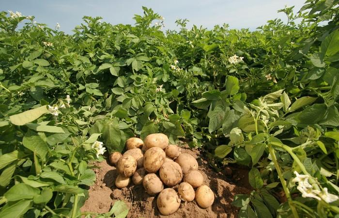 Растение картофель.