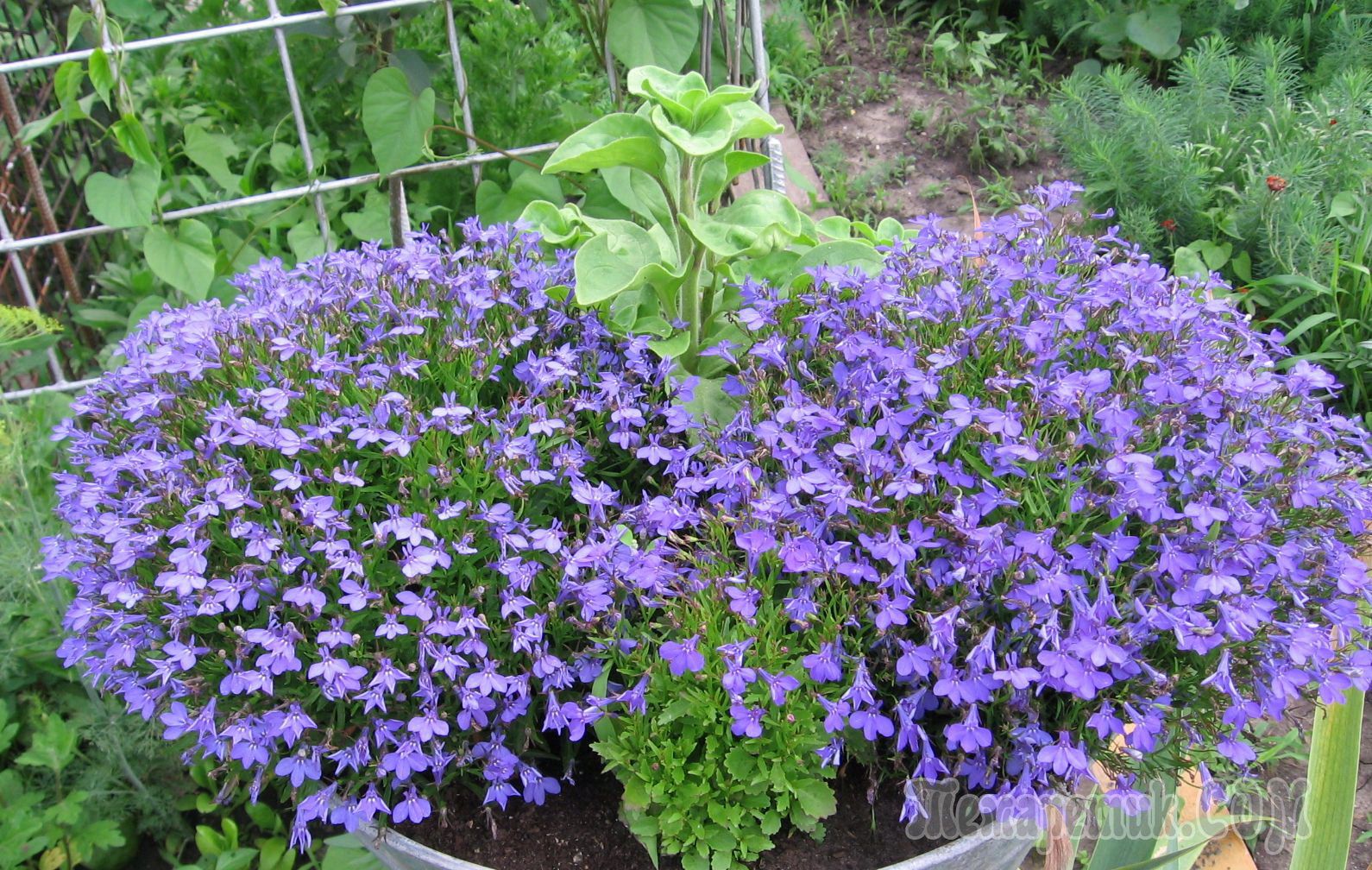 Школа Биотехника, выращивание петунии из семян 85