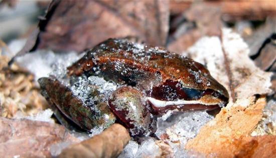 Древесная лягушка. Замораживает свой организм животные, рекорды, удивительно, факты