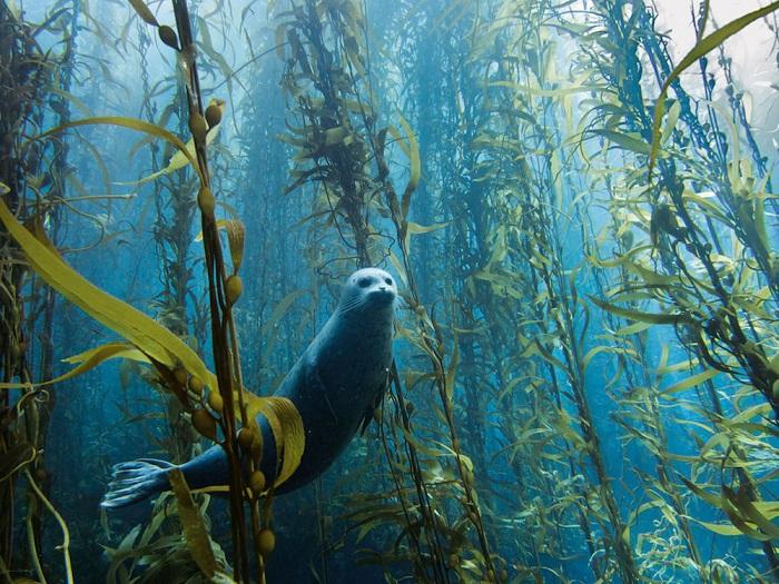 Любопытный тюлень выглядывает из водорослей.