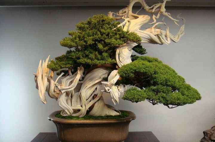 7. This is the bonsai of 800 years in the world, people, photos