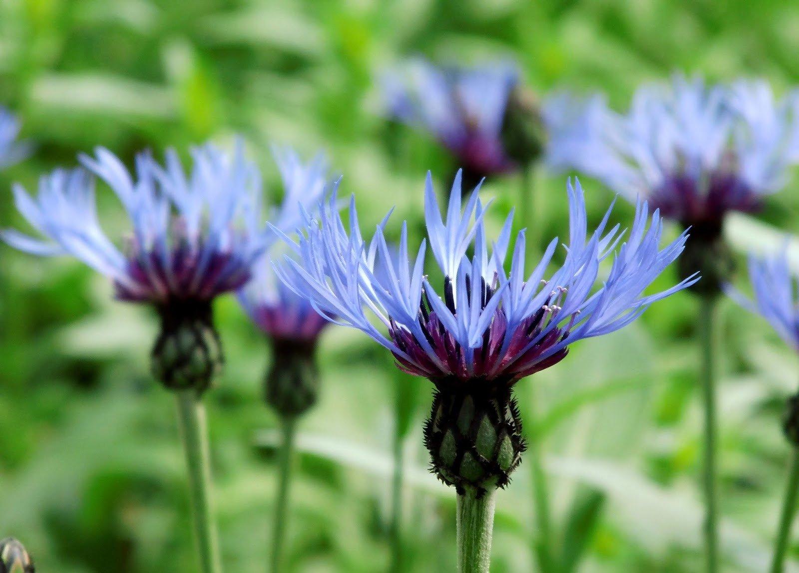 Растения с синими и голубыми цветами: описание и названия