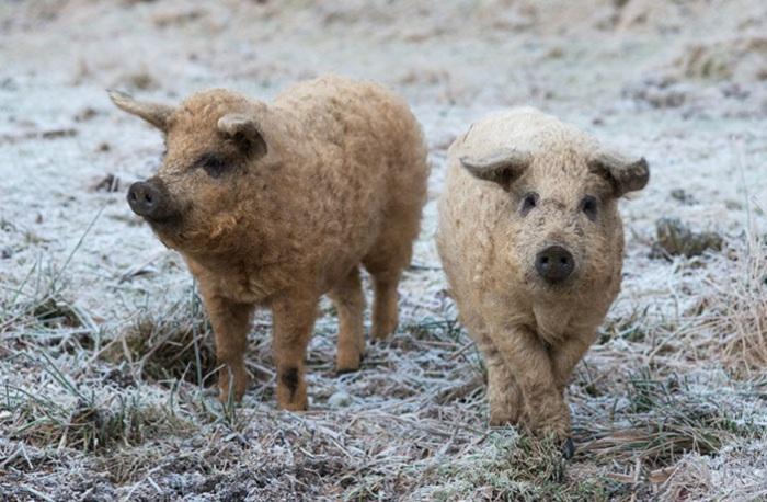 На генетическом уровне у этой породы свиней заложена скорость наращивания мышечной ткани, а не жировой.