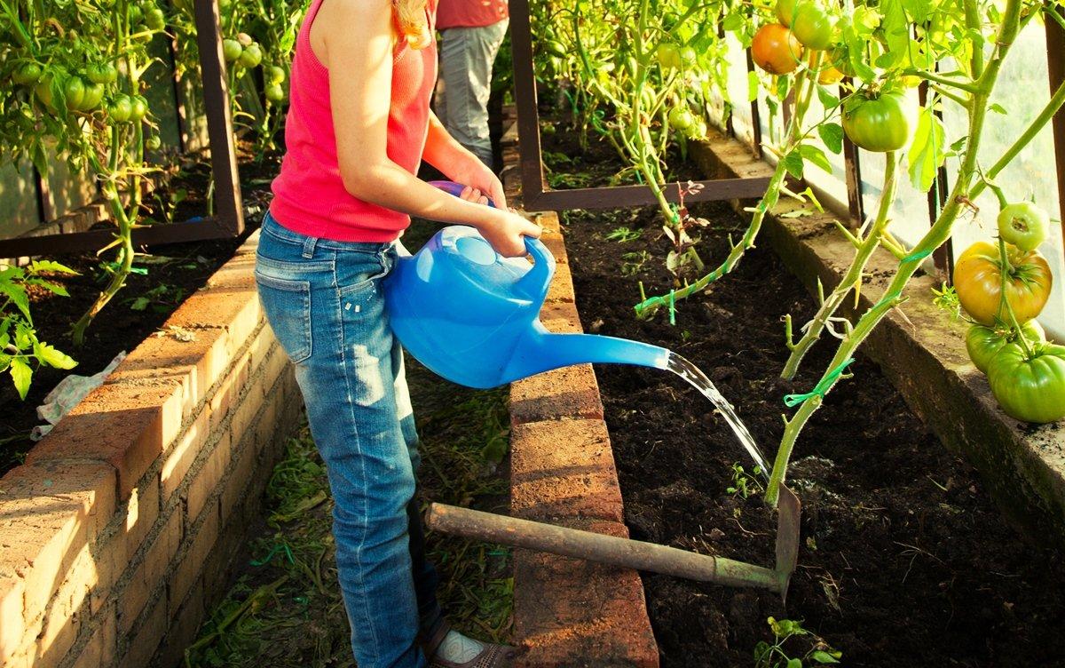 Можно ли поливать днем в жару помидоры