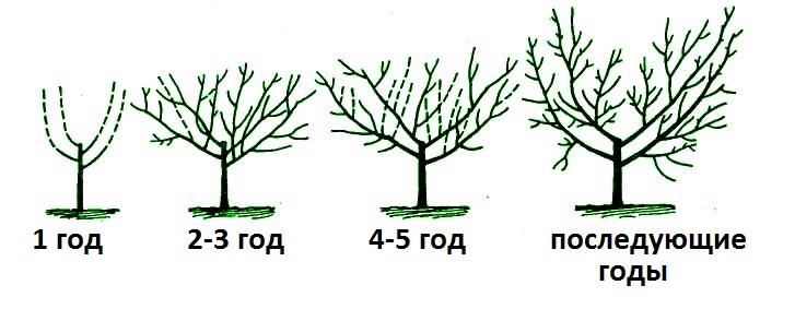 Схема обрезки вишни по годам