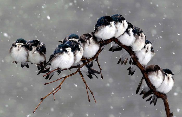Птицы во время пурги.