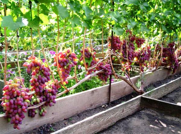 урожай винограда сорта Ризамат