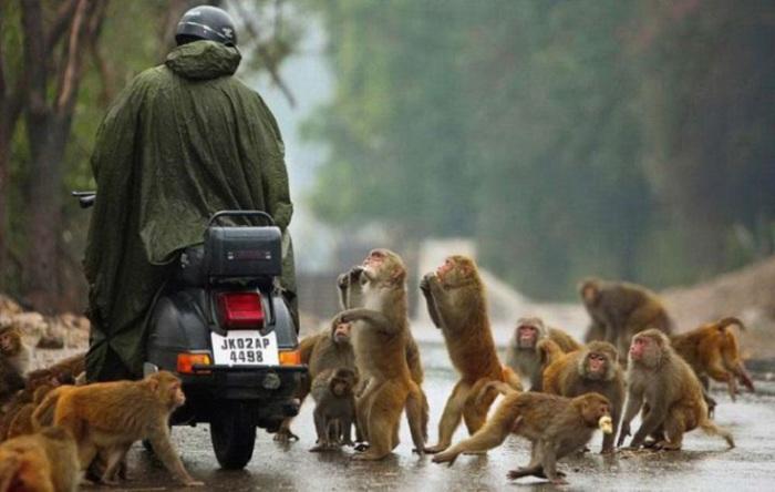 В этом городе макаки гуляют по улицам, глазеют на прохожих, могут даже пробраться в общественный транспорт и прокатиться пару остановок.