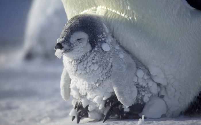 Суровый край — Антарктида. Императорский пингвинёнок греется в ногах у мамы. Фотограф Frederique Olivier.