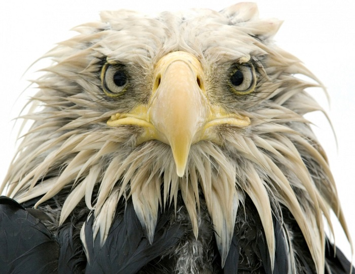 Орёл на Алеутских островах. Фотограф: Клаус Нигги (Klaus Nigge).
